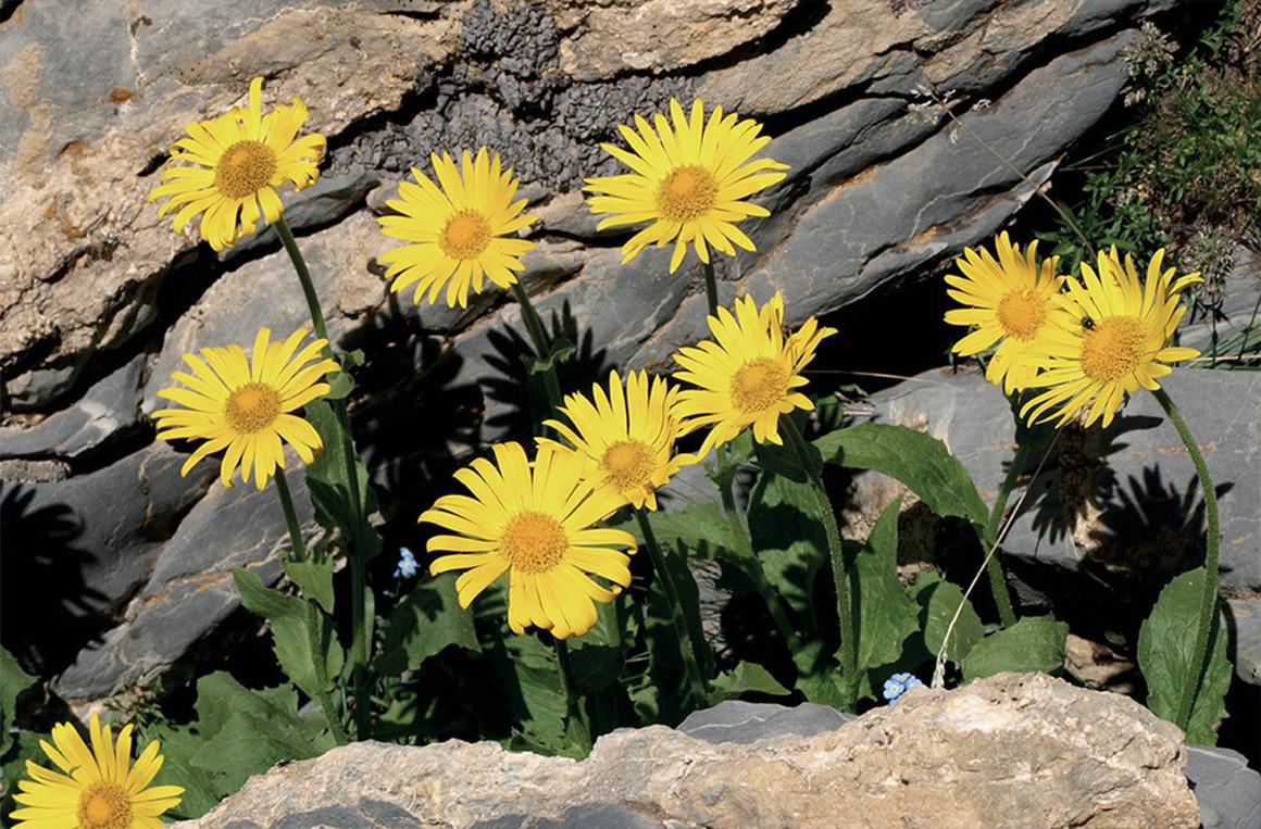 L'Arnica Montana è una pianta officinale alpina.